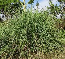 Trawa cytrynowa - najpopularniejsza przyprawa w kuchni azjatyckiej